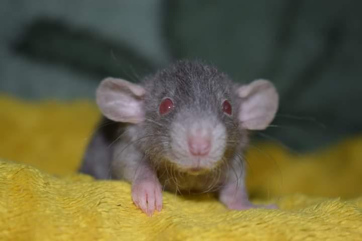 Sekcja szczurów i myszy domowych